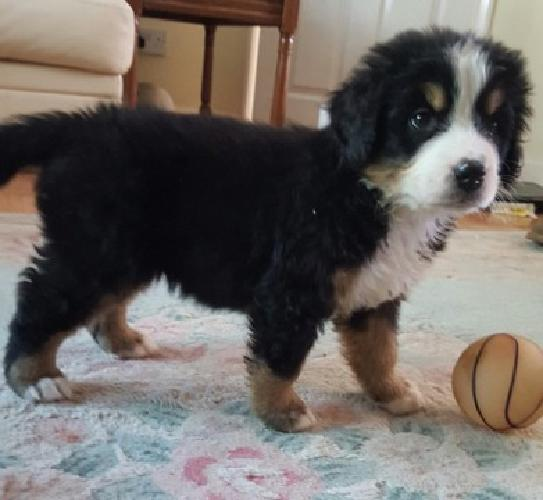 Good looking and well train Bernese Mountain Dog Puppies
