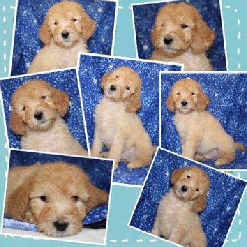 Gorgeous ckc registered f1b male labradoodle puppy
