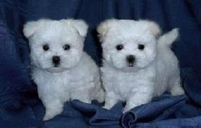 Gorgeous white Maltese Puppies