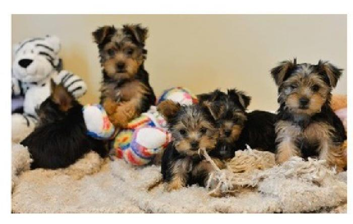 guloki Full breed yorkie pups available