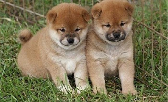 hauiwerssds Shiba Inu Puppies Male And Female Available