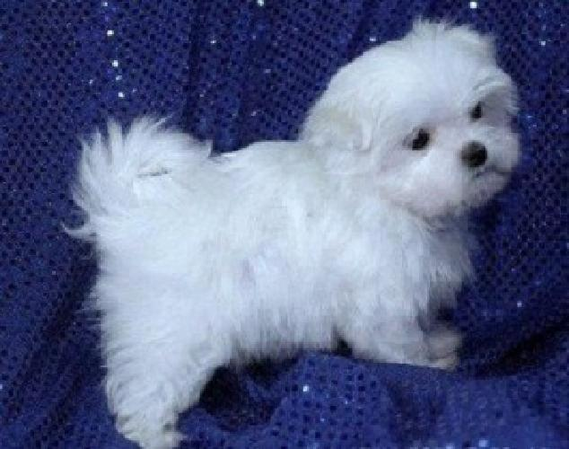 hdgdtdsd Fantastic Teacup Maltese Puppies Available