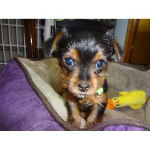 Healthy and charming tea cup yorkie puppies