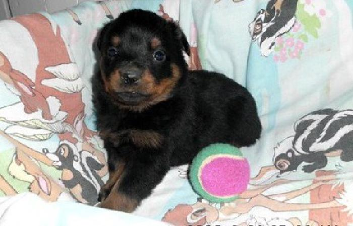 Healthy Males And Females Rotts Available For your Family