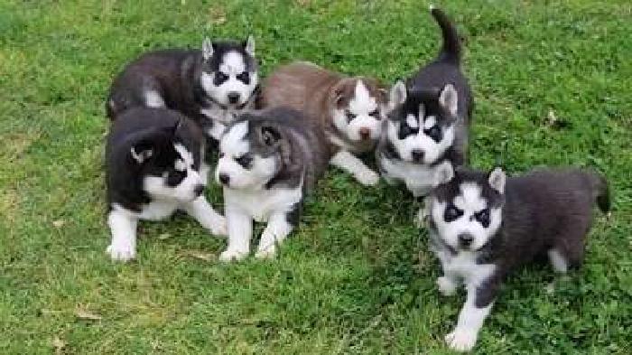 heartening M/F Siberian Husky Pups