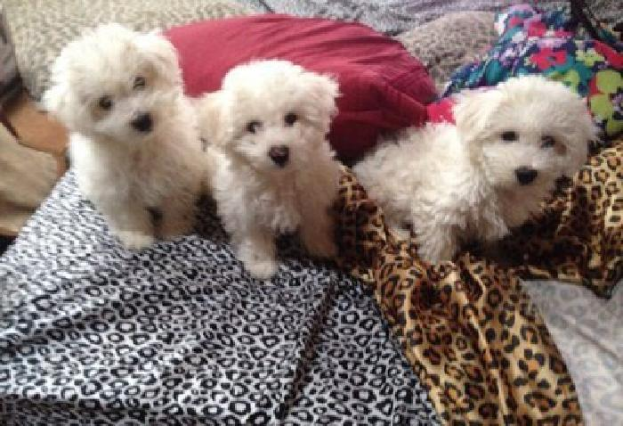 hfgdf Bichon Frise Puppies for Sale
