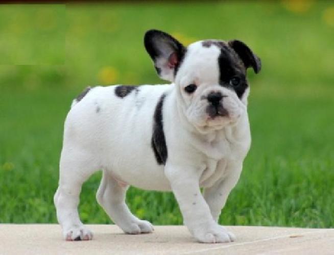 HGJ French Bulldog puppies