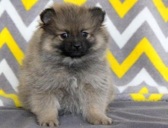 hgjfghjfghe Blue Eyes Teacup Pomeranian Pups For Sale