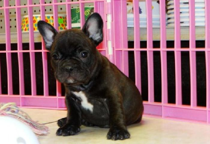 hhgffdvcsd mc jack blue french bulldog puppies available now for you