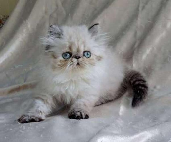 Himalayan Kitten Seal Lynx-Pointed READY TO GO