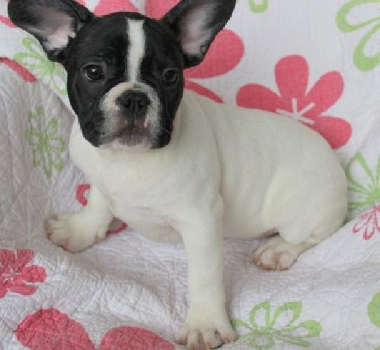 hjfhhfhfj Home raised/potty trained Frenchies NOW Available ndd