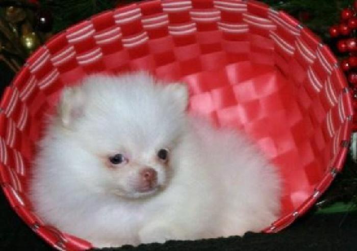 HJgtFRds Teacup Pomeranian Pups For Sale