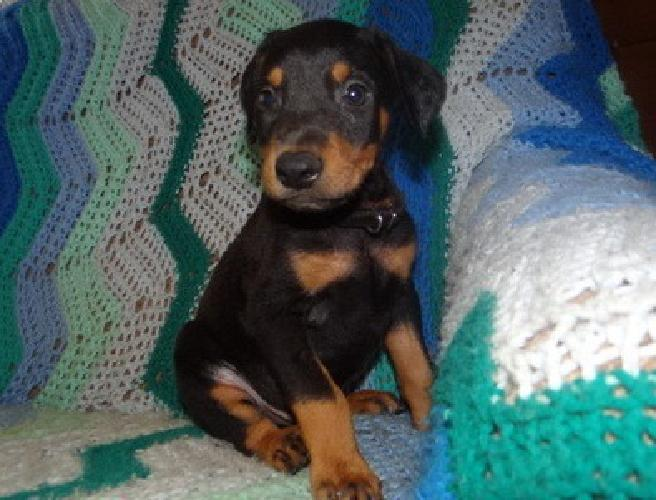 .hjgyuytin Doberman Pinscher Puppies For Sale