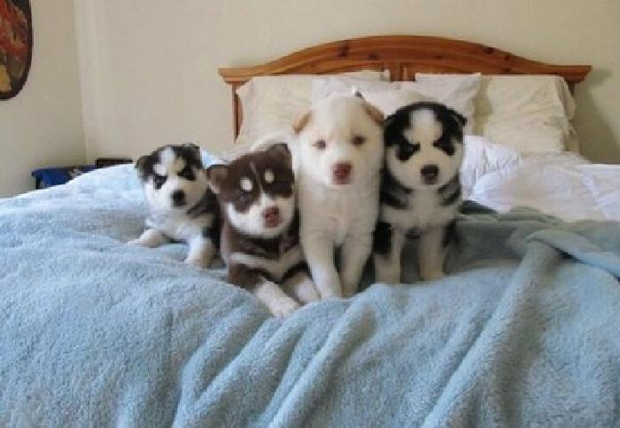 Hjhd Charming litter of huskies babies available now