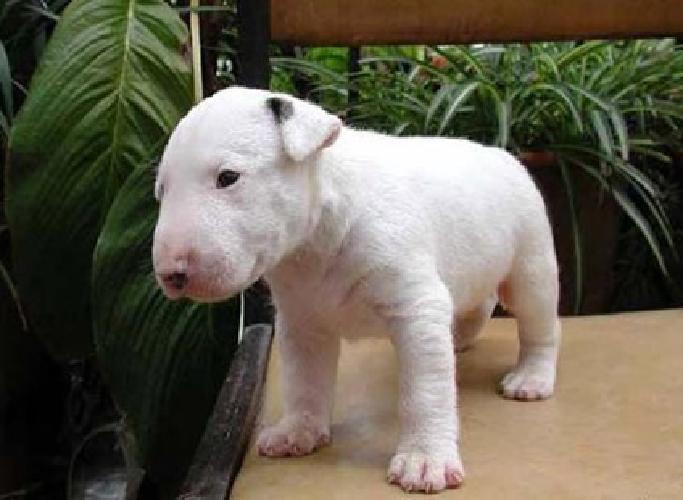 hjhdslfkhll stunning English bull Terrier puppies left for sale