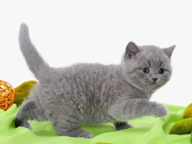 hjhlihl hfruyrfjhv brittish shorthair kittens