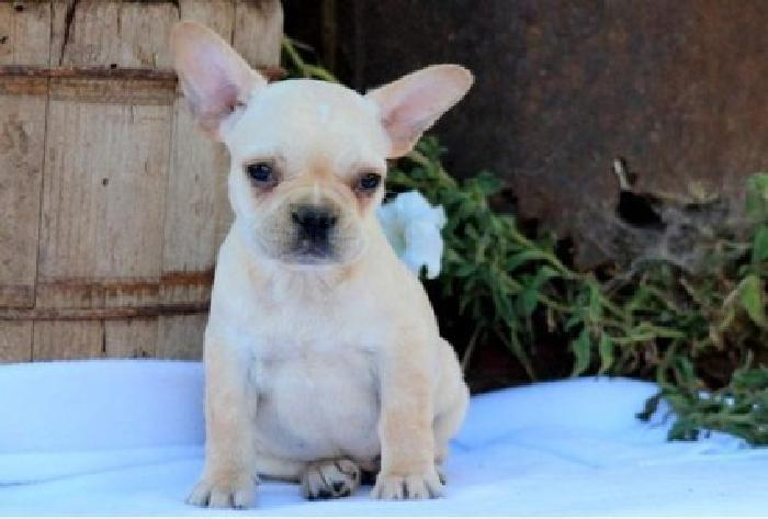 hjuyil French Bulldog puppies