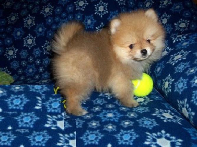Hnnfr Teacup Pomeranian Pups For Sale For Sale In Providence Rhode
