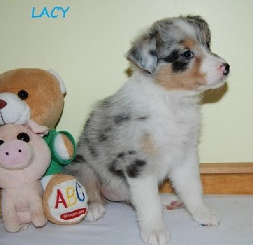 Home Ausiedoodle puppies for sale