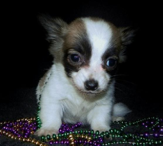 Home Raise Chihuahua Puppies ( text >