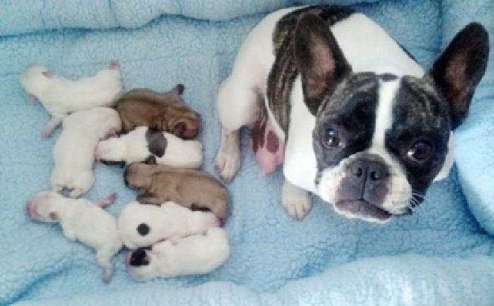 Home Trained French Bulldog Puppies