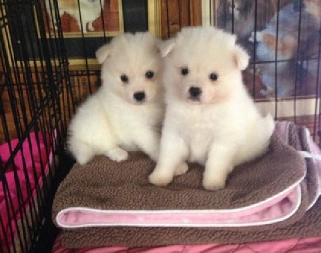 hsndgfcjhsgdvjyt American Eskimo puppies for sale