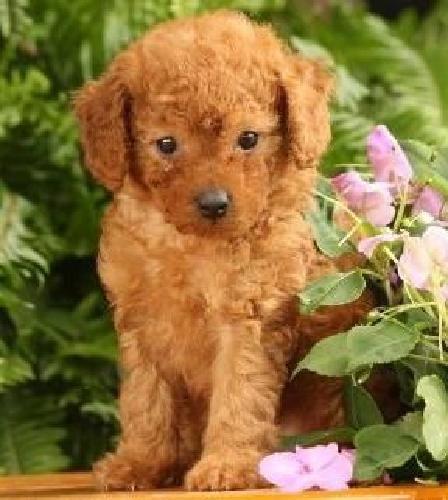 huiijrk agimadi teddybear Poodle Puppies