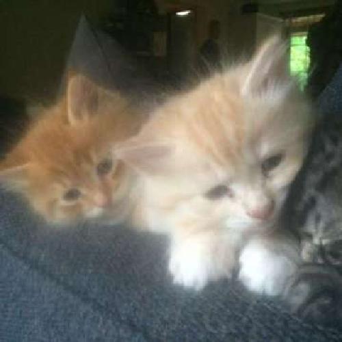 Hypo-Allergenic Siberian Forest Kittens