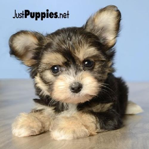 Hypoallergenic Dogs For Sale In Orlando