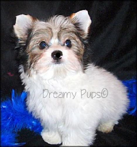 IBC Biewer Yorkie Male Pup Tiny With Baby Doll Face Loves To Give Kisses V-Day S