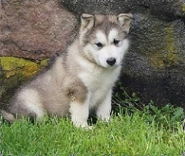 Interesting-good-looking Alaskan Malamute Puppies