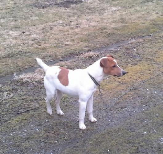 Jack Russell Terrier STUD SERVICE