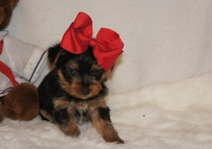 JGHTRTFRTgetf Amazing And Gorgeous Yorkie Puppies Available