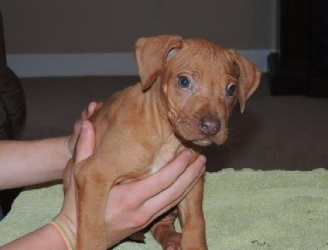 jgrs Rhodesian Ridgeback Puppies For Sale for sale in Vero