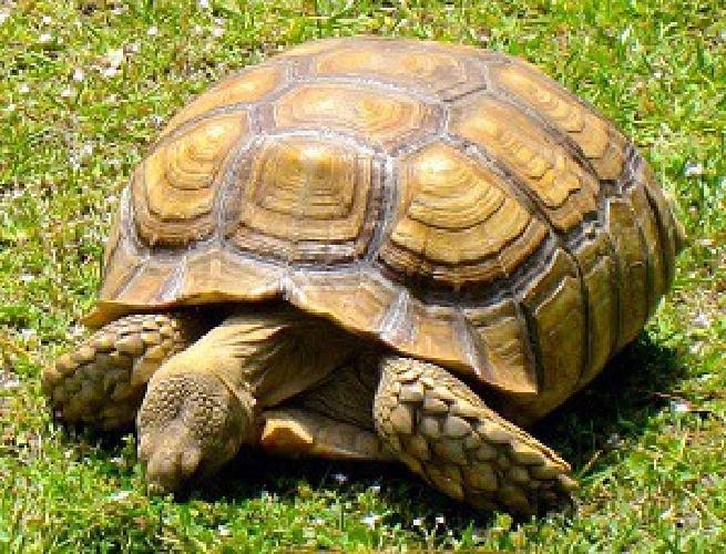 jjdfa adult male sulcata tortoise