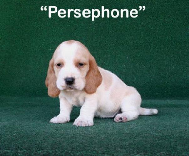 jjhfd Basset Hound Puppies for Sale