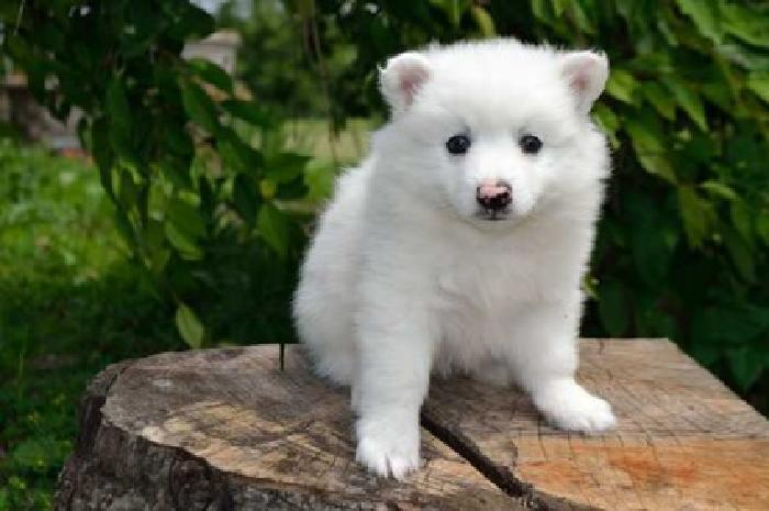 jlkiuydsfch American Eskimo Puppies Male and Female Available
