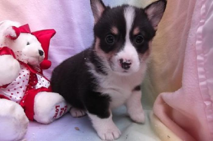 jxewete Pembroke Welsh Corgi Puppies for Sale