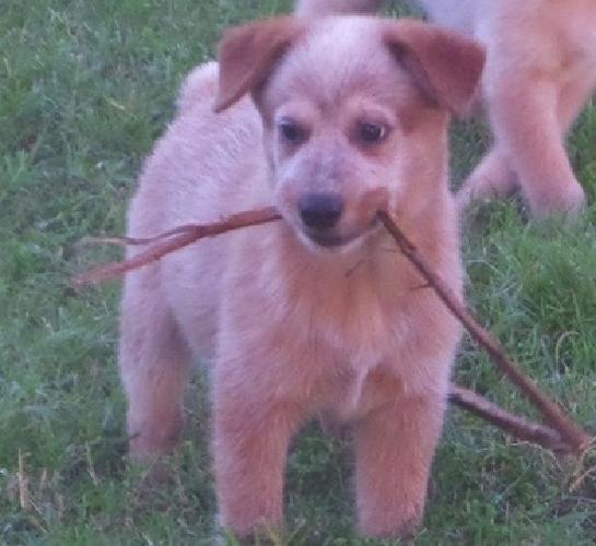 .kdbsfsoo Australian Cattle Dog Puppies For Sale