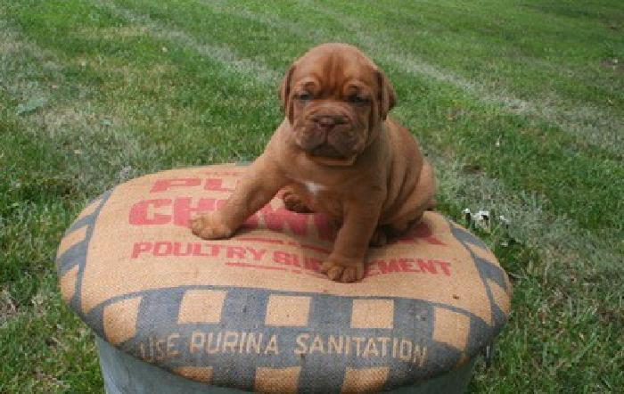 kdjfbsb Dogue De Bordeaux Puppies For Sale
