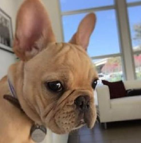 #kelvin frenchies #akc french bullies available 11 weeks old