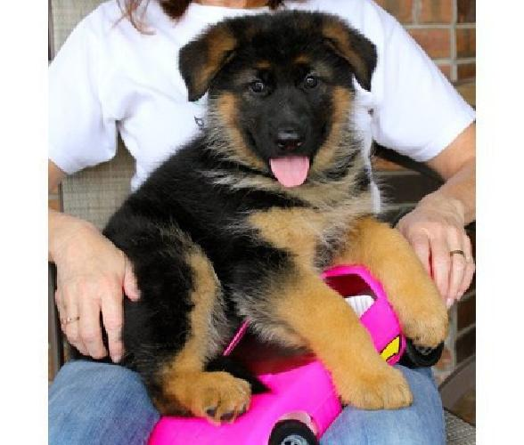khdvk German Shepherd Puppies for sale