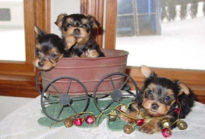 KHFT Teeny Micro Teacup Yorkie Puppies for sale in