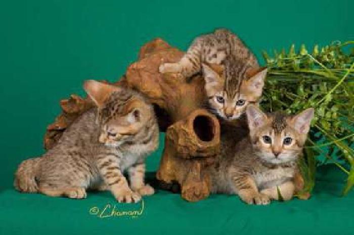 kittens Rare PUMAs