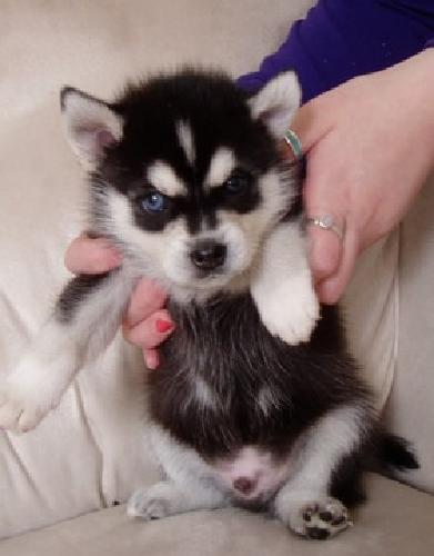 kjhzlmxnm Alaskan Klee Kai Puppies Male and Female Available