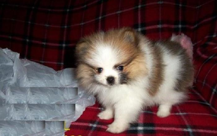 KMloi Teacup Pomeranian Pups For Sale for sale in Miami Beach