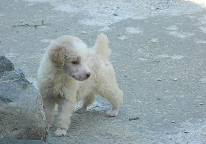 kuygfghtgv Standard Poodle Puppies For Sale