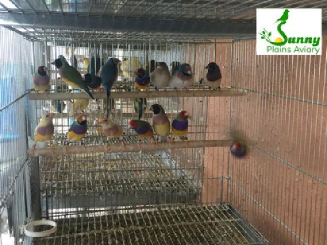 Lady Gouldians Available