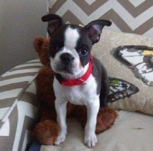 LHNDIOD Boston Terrier Puppies For Sale