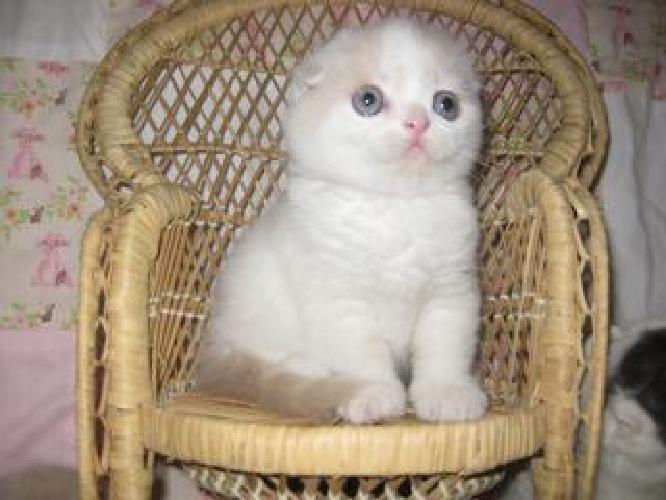 Lidkfjtt wagsqirt Scottish Fold Kittens With Folded Ears
